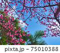 沖縄の青空と桜 75010388