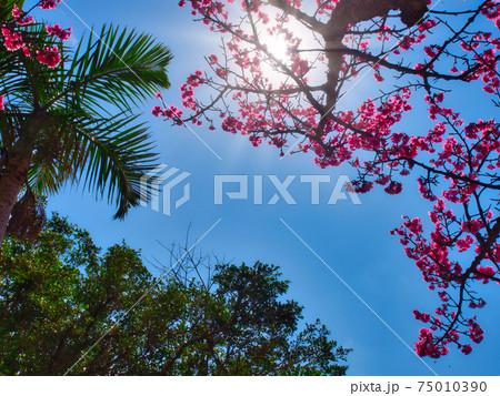 眩しい太陽の下で綺麗に咲く沖縄の桜 75010390