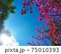 眩しい太陽の下で綺麗に咲く沖縄の桜 75010393