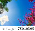 眩しい太陽の下で綺麗に咲く沖縄の桜 75010395