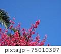 青空の下で綺麗に咲く沖縄の桜 75010397