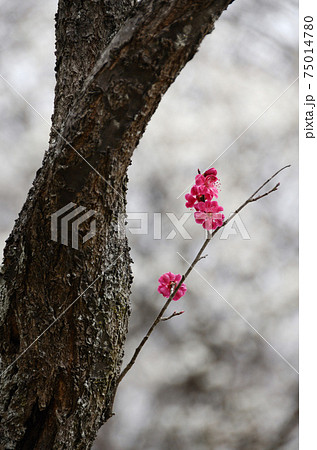 幹から伸びた細い枝に咲く八重の紅梅の花 75014780