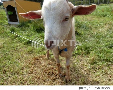 サロベツ原野でにっこり笑うヤギさん 75016599