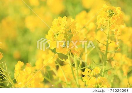 菜の花 75026093