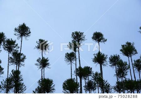 ボール状に刈り込まれた、たくさんの杉の木 75028288