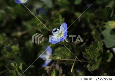 道端にそっと咲いているオオイヌノフグリの花 75029548