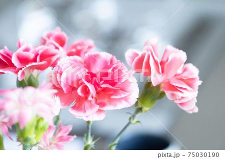 ピンク系カーネーションの花のクローズアップ 75030190
