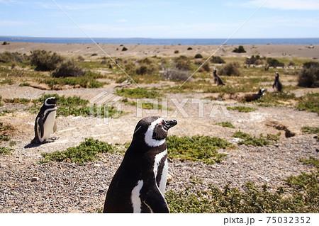 南米アルゼンチンの南部の街トレレウ郊外 プンタトンボのマゼランペンギンのコロニー 75032352