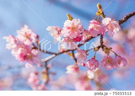 笠松河津桜ロード 75035513