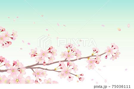 桜の枝と青空に舞い散る花びら 75036111