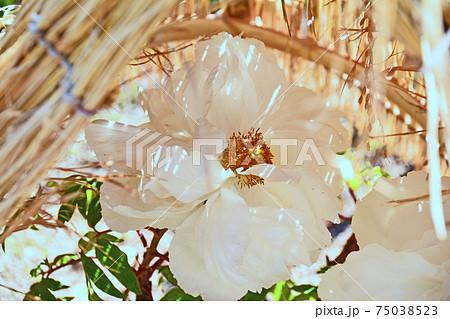 藁囲いの中で咲く大輪の白い冬ぼたん 75038523