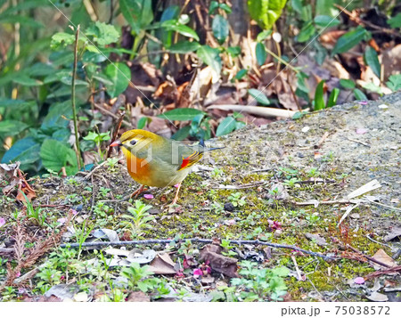 地上を歩くカラフルな鳥ソウシチョウ 75038572