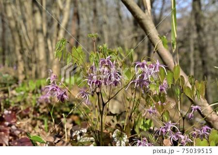 森林公園の雑木林に咲くイカリソウの花 75039515