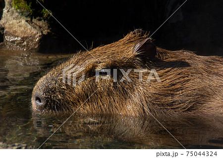 温泉に入るげっ歯類カピバラさんの写真入浴露天風呂顔アップ 75044324