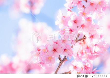 満開の河津桜 75045554