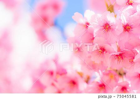 満開の河津桜 75045581
