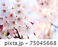 夕日に照らされた左側アップ桜 75045668