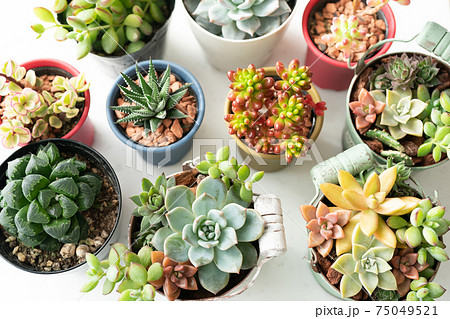色々な種類の多肉植物 75049521
