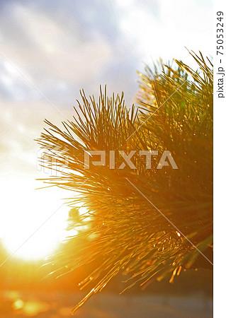 逆光の夕陽に染まるマツ(松)の小景 75053249