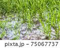grass and poplar fluff 75067737