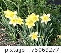 春の晴れた日に庭の片隅に咲く黄水仙 75069277
