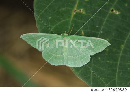 オオシロオビアオシャク きれいな蛾 75069380