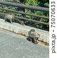 道路を親子で移動する屋久島の猿 75070633