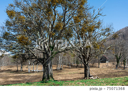 春の日差しを浴びて芽吹き始めた木々 75071368