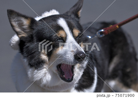 口を開けて叫んでいるような黒いコーギー犬の表情 75071900