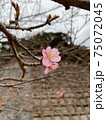 屋久島の道路沿いに咲く早咲きの一輪の桜 75072045