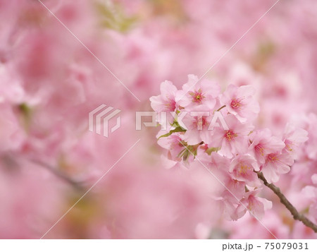 見ごろを迎えた河津桜 ピンクが印象的 75079031