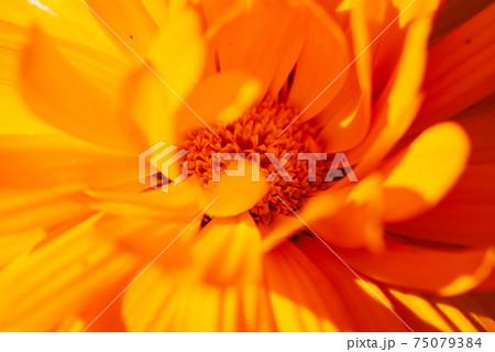 キンセンカの花芯、エクストリームクローズアップ 75079384