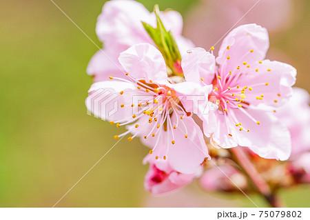 桃色・桃の花 75079802
