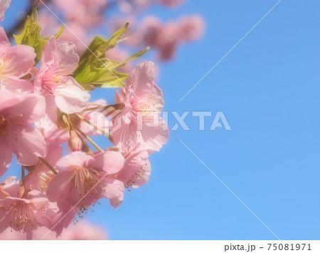 満開の桜と青空 ポカポカした春のイメージ 75081971