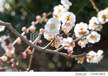たくさんの花とつぼみがついた白梅の木 75085965