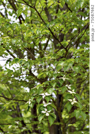 兵庫県三田市有馬富士公園のヤマボウシの花 75087662