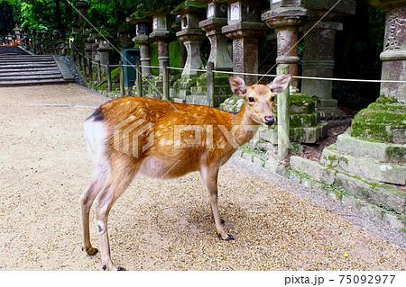 【奈良】初夏の春日大社参道 石灯篭と振り返る鹿(夏毛) 75092977