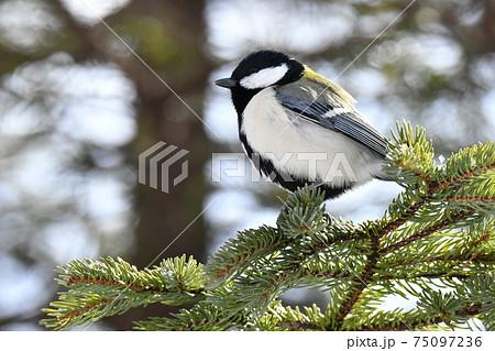 冬の北海道の森、囀るシジュウカラ 75097236