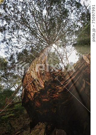 大きく曲がった大木と葉の間から指す光線 75097991