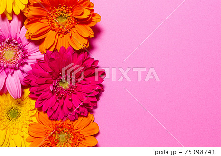 カラフルなガーベラの花 背景素材 75098741