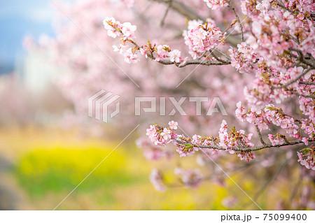 春の河川敷にて 桜のアップと菜の花畑、青空 75099400