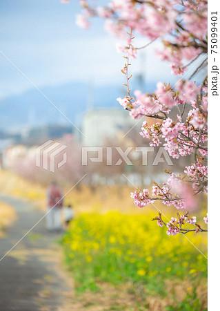 春の河川敷にて 桜と菜の花畑の中、孫と散歩するシニア③ 75099401