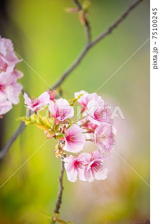 河川敷に咲く桜のアップと菜の花の背景⑤ 75100245