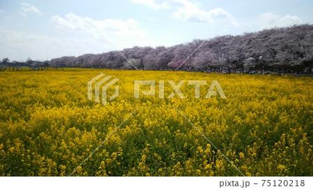 春の青空の下で満開を迎えた桜堤と菜の花畑 75120218