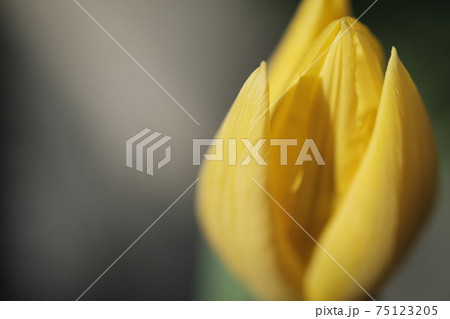 黄色の綺麗なチューリップのアップ素材 75123205