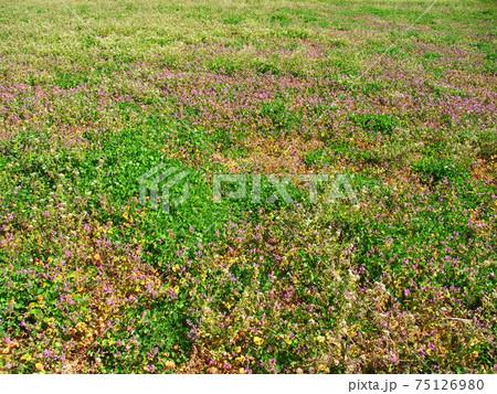 若草とホトケノザ咲く春の野原風景 75126980