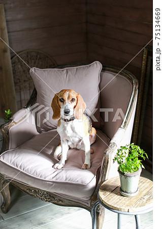 おしゃれなソファに座るビーグル犬 75134669