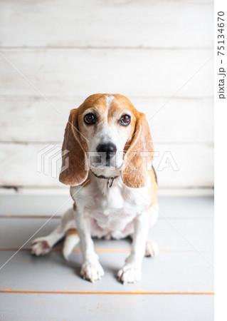 ちょっとよそ見をしてお座りするビーグル犬 75134670