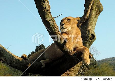 王者の風格でくつろぐライオン 75138567
