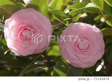 ピンク色のサザンカのクローズアップ 75144878